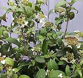 칠변수국|Hydrangea macrophylla