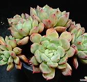 홍가시후레뉴11|Pachyphtum cv Frevel