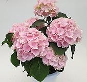[사진의상품배송]크고 풍성한 핑크수국|Hydrangea macrophylla