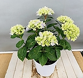 블루수국 (동일품배송)|Hydrangea macrophylla