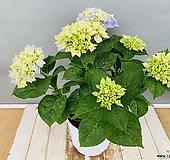 블루수국(동일품배송)|Hydrangea macrophylla