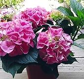 분홍수국꽃 월동|Hydrangea macrophylla