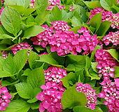 수국(진분홍) 5치화분|Hydrangea macrophylla