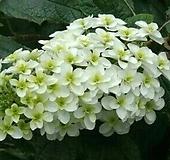 떡갈잎수국(겹꽃)|Hydrangea macrophylla