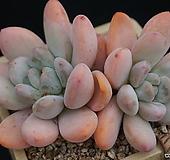 후레뉴 자연|Pachyphtum cv Frevel