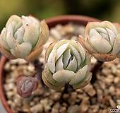 포토시나sp 군생  2-7030|Echeveria elegans Potosina
