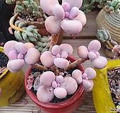 아메치스 군생|Graptopetalum amethystinum