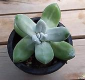 파키피텀 Dudleya pachyphytum