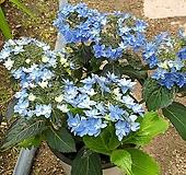 제주별수국/산수국|Hydrangea macrophylla