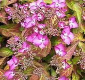 산수국/노지월동|Hydrangea macrophylla