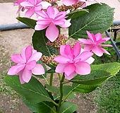 장미수국/별수국|Hydrangea macrophylla