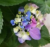 수국  한송이  여러색이|Hydrangea macrophylla
