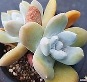 파키피덤 Dudleya pachyphytum