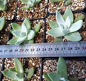 파키피덤실생 5월특가 랜덤10 선별품 최우선. Dudleya pachyphytum