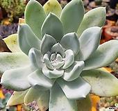 파키피덤실생 Dudleya pachyphytum