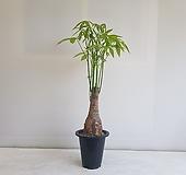 파키라 외대/공기정화식물/반려식물/온누리 꽃농원 