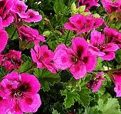 켄디제라늄.꽃이 계속피고 지고 너무 예쁜 꽃입니다, Geranium/Pelargonium