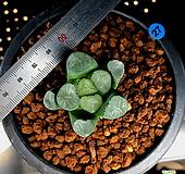 하월시아 만상 서운(27) haworthia