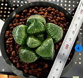 하월시아 스프링복스 트로피칼나이트(4) haworthia