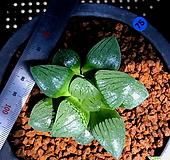 하월시아 월영(75) haworthia