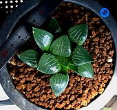 하월시아 코렉타 도희(49) haworthia