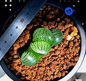 하월시아 스프링복스(73) haworthia