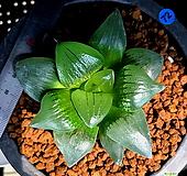 하월시아 아트로푸스카(72) haworthia