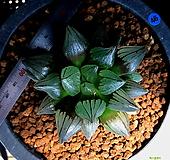 하월시아 아트로푸스카 뮤턴트(46) haworthia