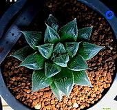 하월시아 백은회권(45) haworthia