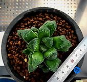하월시아 정수(23) haworthia