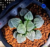 하월시아 피그마에아 설촌(69) Haworthia pygmaea