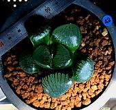 하월시아 스프링복스 트로피칼나이트(42) haworthia