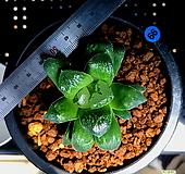 하월시아 정수(66) haworthia