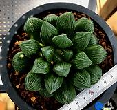 하월시아 옥담수(13) haworthia