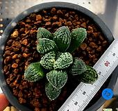 하월시아 몰도르(12) haworthia