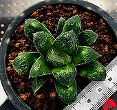 하월시아 정수() haworthia
