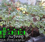 애플사이다제라늄(넛맥Nutmeg 제라늄) 허브모종 700원(단품목 5000원 이상배송가능) Geranium/Pelargonium