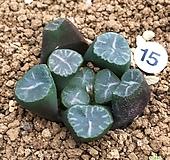 고바야시 만상 (하월시아) 15 haworthia
