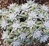 화이트그리니 9106-1975|Dudleya White gnoma(White greenii / White sprite)