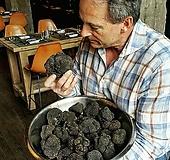 국내 최초 판매~♥블랙 트러플 트리♥페리고르 블랙 트러플 품종♥흑송로버섯나무♥송로버섯|