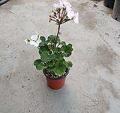 제라늄 소품 색상 랜덤 발송 묵은둥이 꽃이 없을수도 15~25cm Geranium/Pelargonium