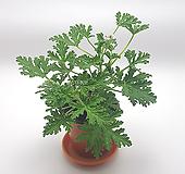 구문초 로즈제라늄 Geranium/Pelargonium