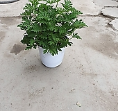 구문초 중품 인기제라늄 모기퇴치최고 25~40cm Geranium/Pelargonium