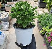 오렌지제라늄 중품 최상급 오렌지향기가 나요 25~30cm Geranium/Pelargonium