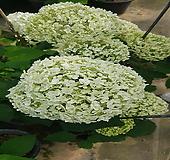 아나벨수국(개화주)화분|Hydrangea macrophylla