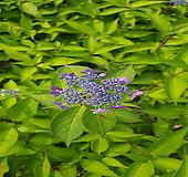 산수국(아이히메)개화주|Hydrangea macrophylla
