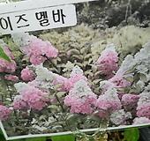 목수국,멜바,신상품|Hydrangea macrophylla