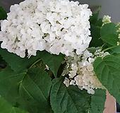 스트롱아나벨수국 흰색 (노지월동가능)  부의상징이에요 높이(50-60)|Hydrangea macrophylla