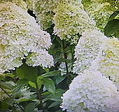 유럽목수국.라임라이더,대품|Hydrangea macrophylla
