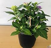 보라색수국|Hydrangea macrophylla